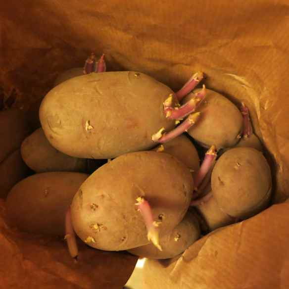 Chitting potatoes 09.03.13 - 1