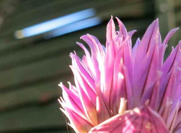 Garden chive flower 26.05.13 - 15