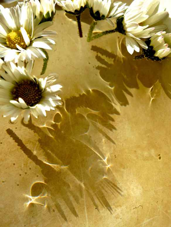 Daisy floating shadows 14.04.14 - 1