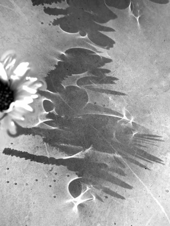 Daisy floating shadows 14.04.14 - 3