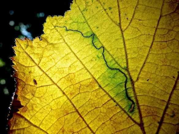 Crickley Hill leaf 14.09.14